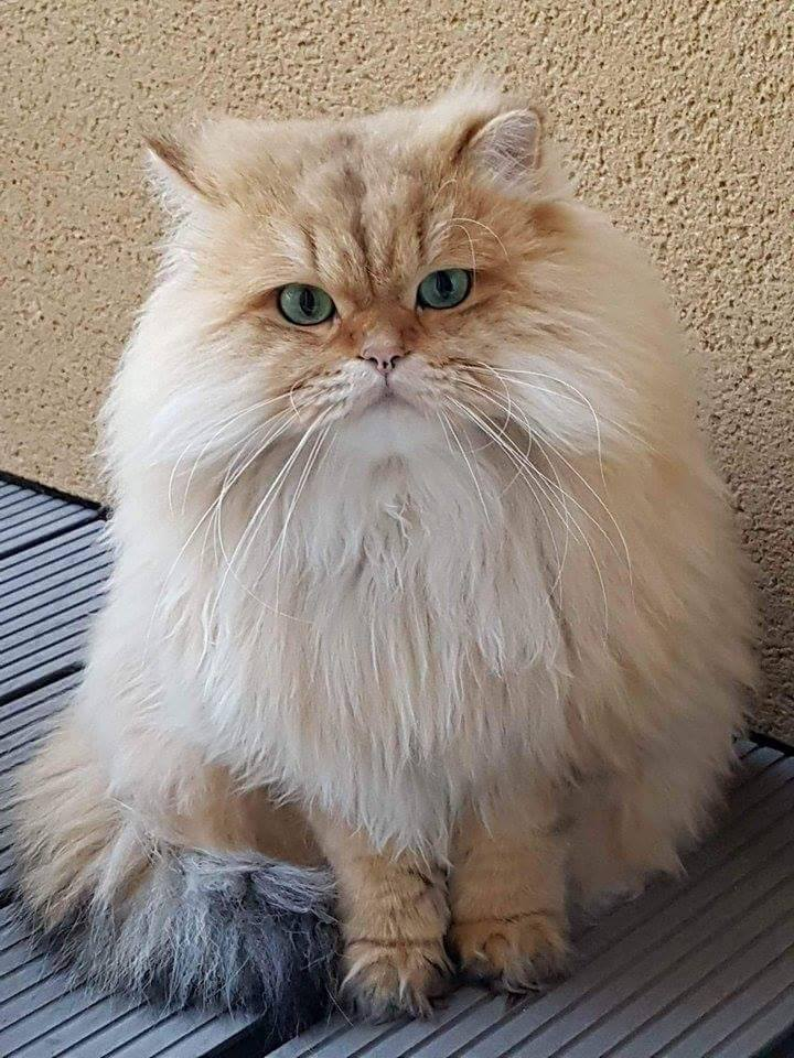 British Longhair couleur Golden