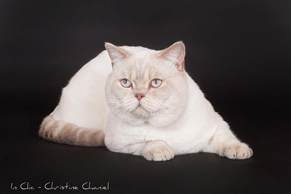Eafora British Shorthairs